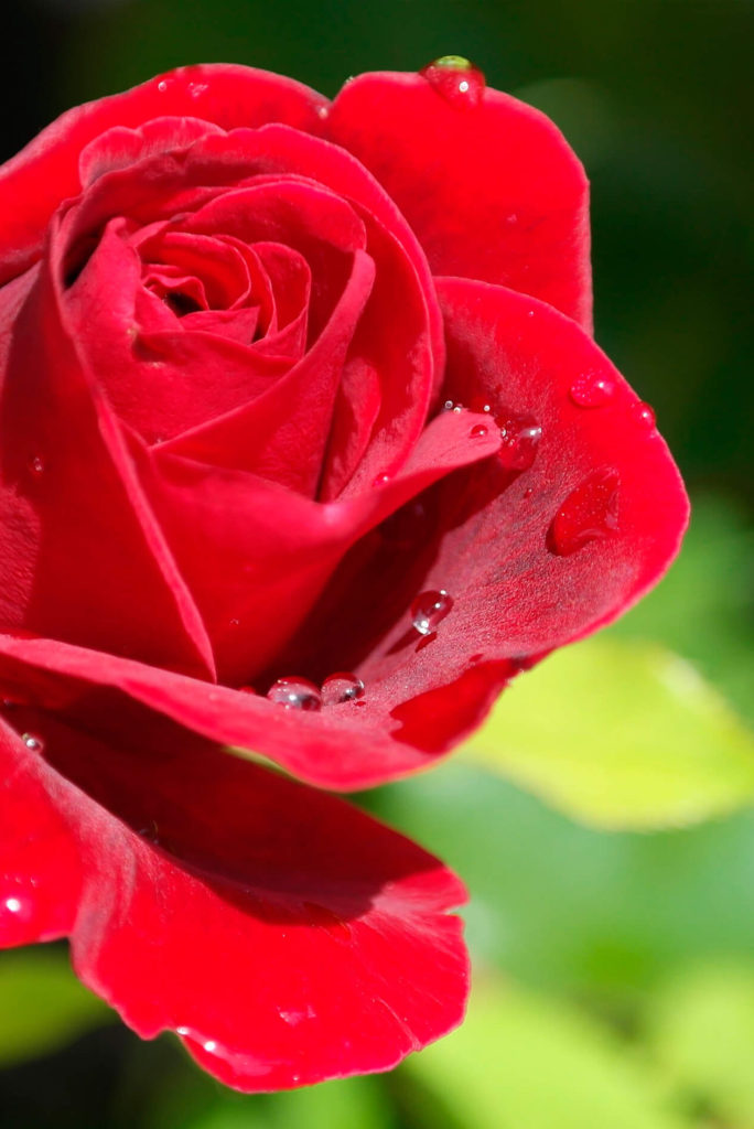 Red Rose - Alice in Beautyland-Blog