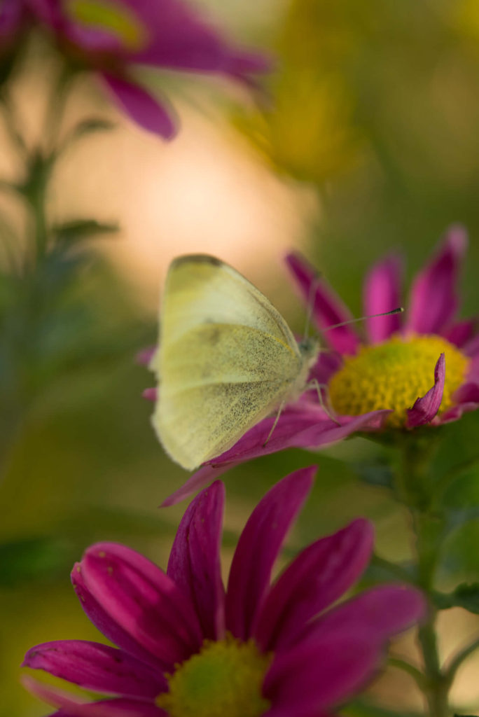 Primaveroterapia Alice - Primaverizate con Alice - Butterfly