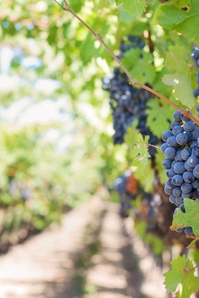 Purple grapes-Alice in Beautyland