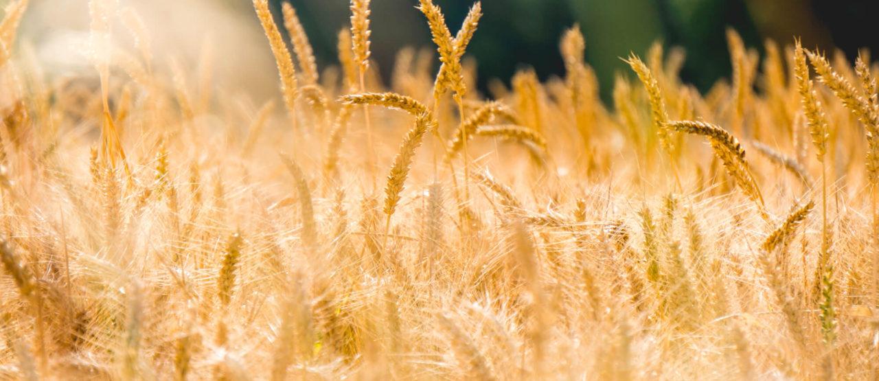 Activos Belleza - Wheat germ