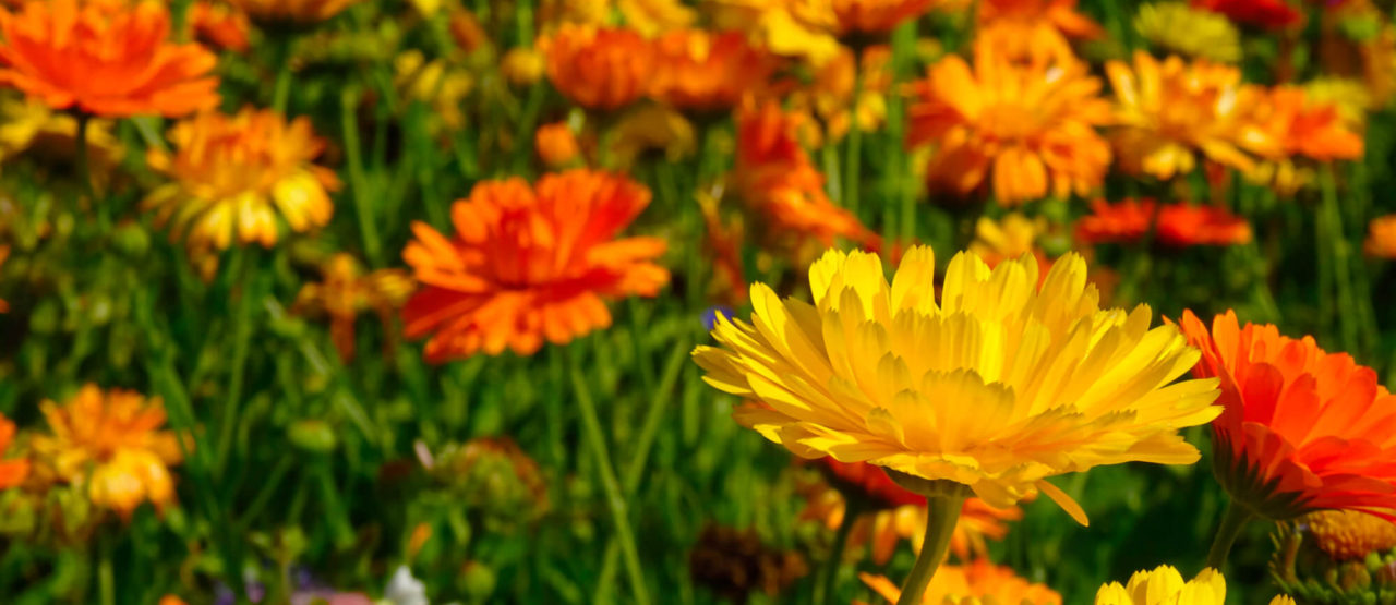 Pon aceite en tu vida - Flores Calendula - Alice in Beautyland
