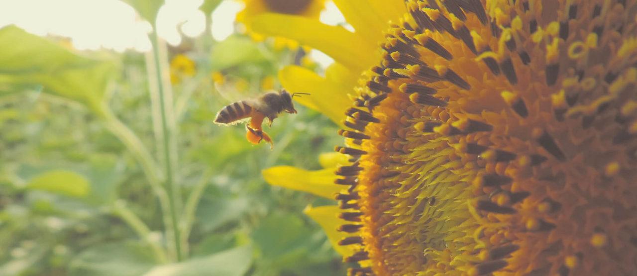 Alimentacion Biologica - Alice in Beautyland - Bee sunflower
