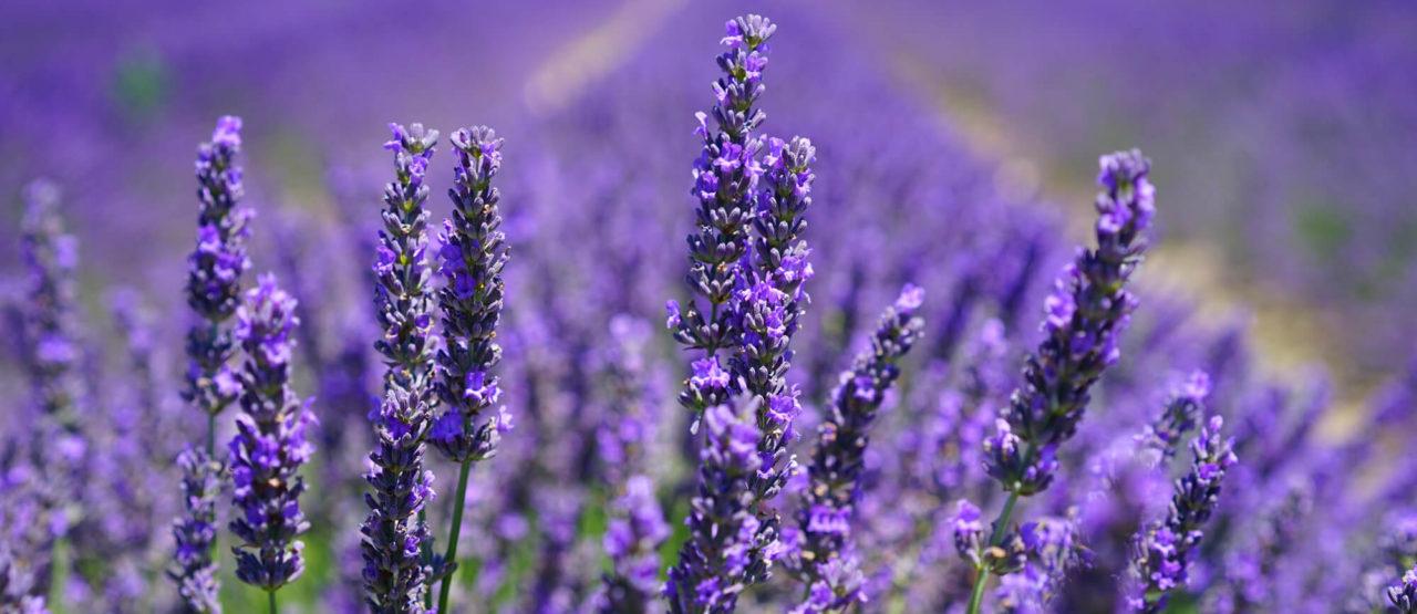 Aromaterapia-Aromas que embellecen-Alice in Beautyland-Lavanda