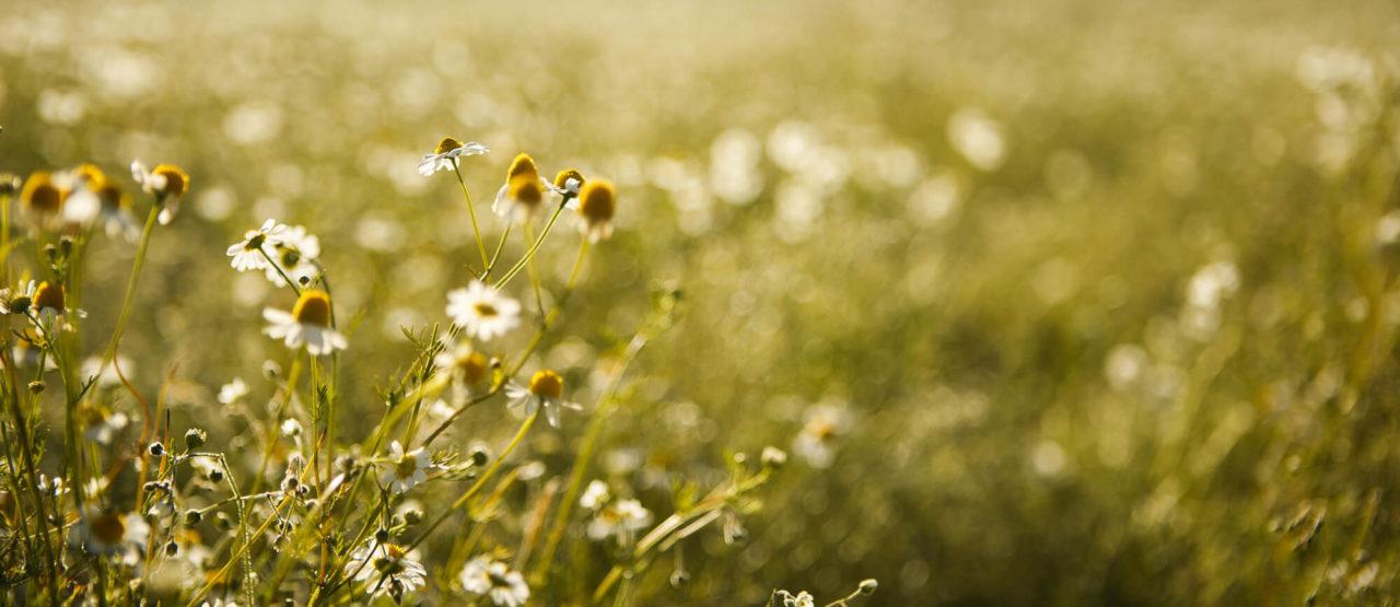 Aromaterapia-Aromas que embellecen-Alice in Beautyland-Manzanilla
