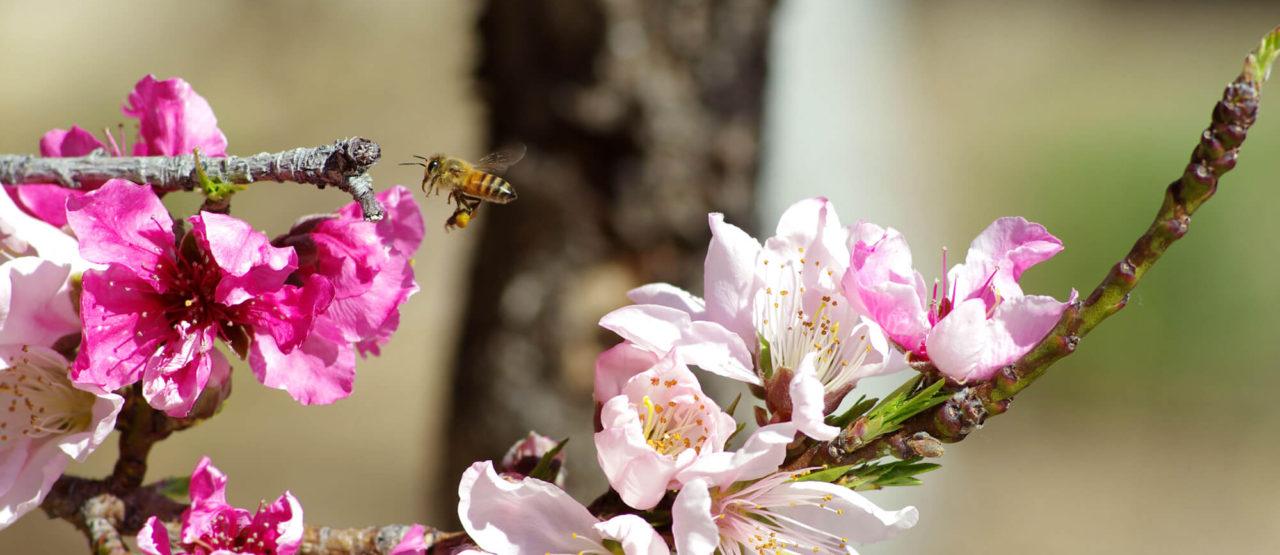 La belleza de las almendras-Alice in Beautyland Blog-Bee