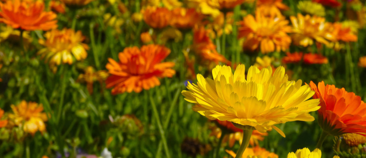 La belleza de las almendras-Alice in Beautyland Blog-Caléndula