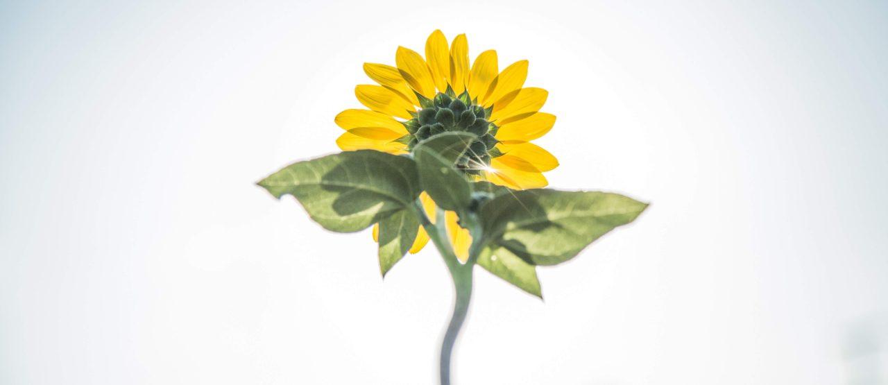 Como tomar el sol sin quemarse-Alice in Beautyland-sunflower