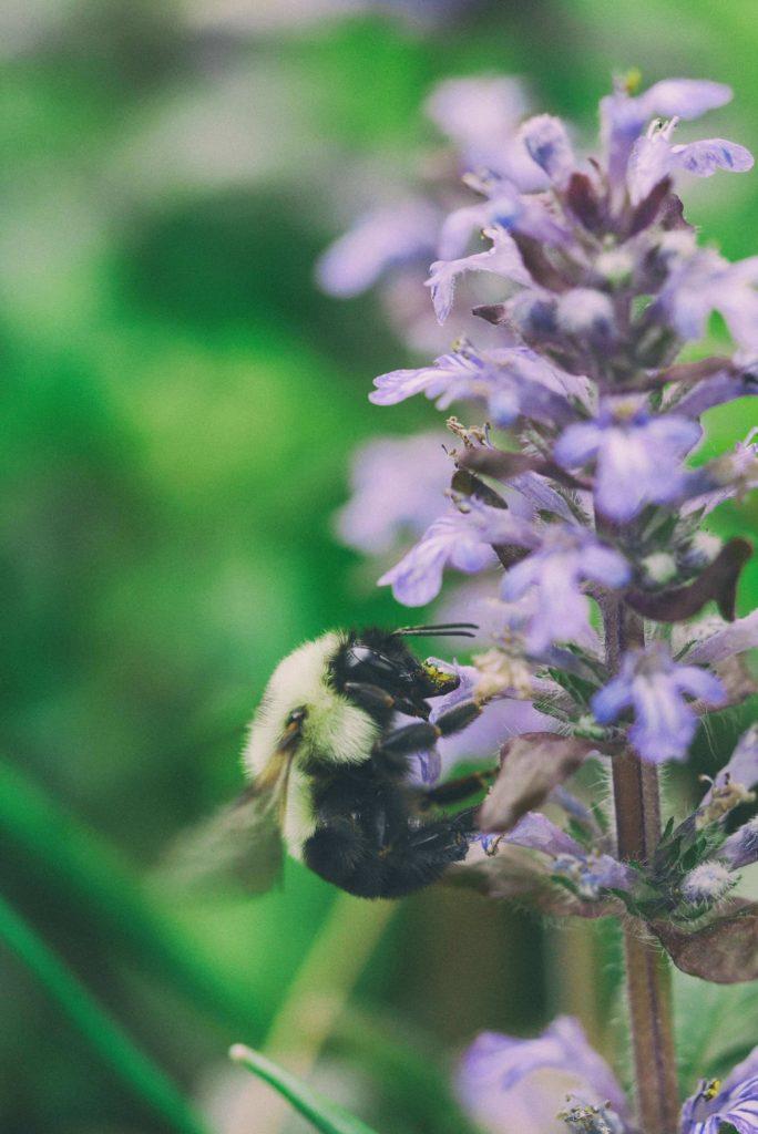 SALVIA LA REINA ANTE LAS ADVERSIDADES Bee